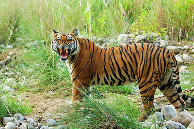 Royal Bengal Tiger (male Art Print