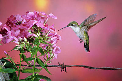Phlox Photograph - Ruby-throated Hummingbird (archilochus by Richard and Susan Day
