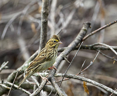 Photograph - Savannah Sparrow by Doug Lloyd