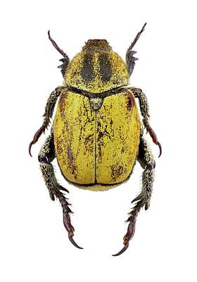 Scarab Photograph - Scarab Beetle by F. Martinez Clavel