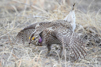Photograph - Sharp Tailed Grouse by Steve Javorsky