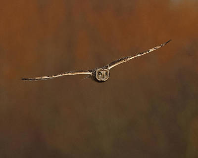 Art Print featuring the photograph Short Eared Owl by Paul Scoullar