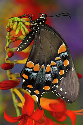 Lucifer Photograph - Spicebush Swallowtail, Papilio Troilus by Darrell Gulin