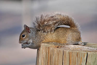 Photograph - 6- Squirrel by Joseph Keane