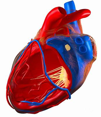 Structure Of A Human Heart, Artwork Art Print by Roger Harris