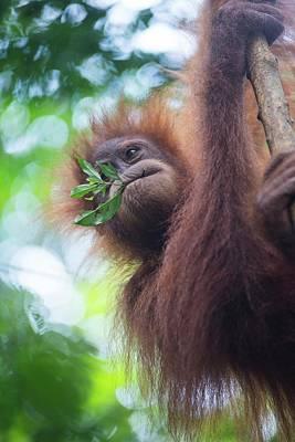 Sumatran Orangutan Print by Scubazoo