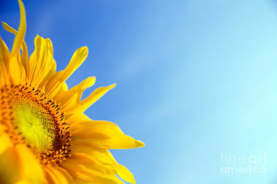 Charming Photograph - Sunflower by Michal Bednarek