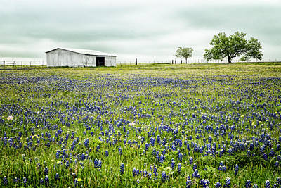 Texas Bluebonnets 6 Art Print