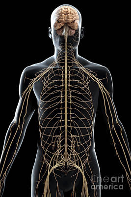 The Nerves Of The Upper Body Art Print by Science Picture Co