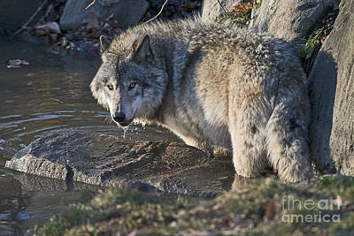 Animals Royalty-Free and Rights-Managed Images - Timber Wolf Pictures by Wolves Only