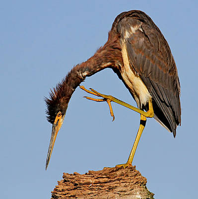 Photograph - Tri-colored Heron by Ira Runyan