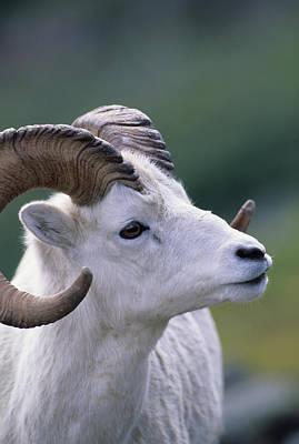 Usa, Alaska, Dall Sheep, Dall Ram Art Print