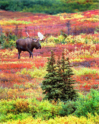 Alaska Photograph - Usa, Alaska, Denali National Park by Jaynes Gallery