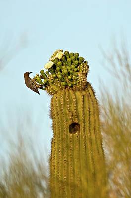 Usa, Arizona, Tucson, Saguaro National Print by Peter Hawkins