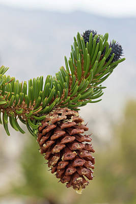 Pine Cones Photograph - Usa, California, Inyo National Forest by Jaynes Gallery
