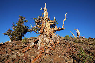 Bristlecone Photograph - Usa, California, White Mountains by Jaynes Gallery
