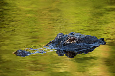Alligator Photograph - Usa, Florida, St by Jaynes Gallery