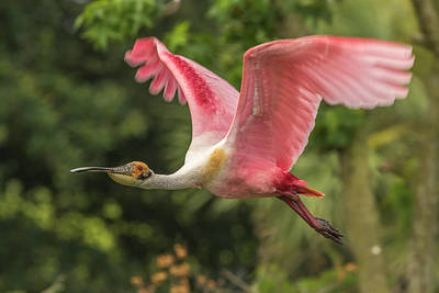 Spoonbill Photograph - Usa, Louisiana, Jefferson Island by Jaynes Gallery