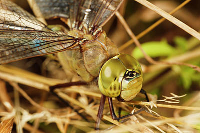 Green Darner Dragonflies Photograph - Usa, Oregon, Albany, Freeway Ponds by Rick A Brown
