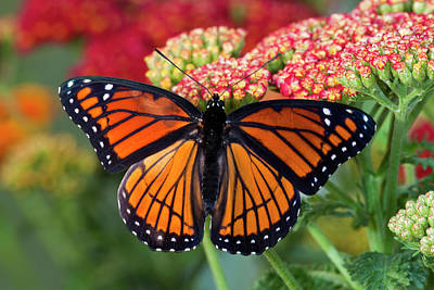 Yarrow Photograph - Viceroy Butterfly A Mimic by Darrell Gulin