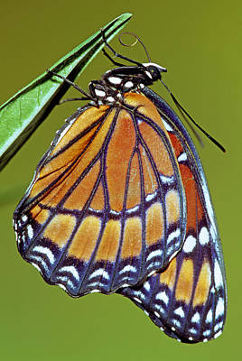 Viceroy Butterfly Art Print by Millard H Sharp