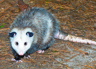 Photograph - Virginia Opossum by Millard H. Sharp