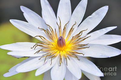 Photograph - Water Lily  6 by Allen Beatty