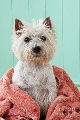 Pet Care Photograph - West Highland White Terrier by John Daniels