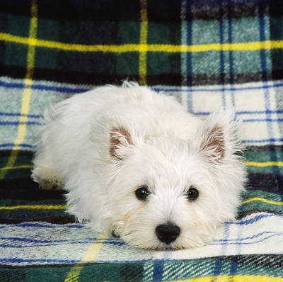 Westie Pup Photograph - West Highland White Terrier Puppy by John Daniels