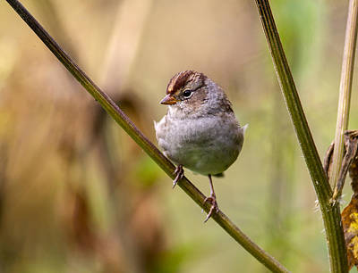 Photograph - Whitecrowned Sparrow by Doug Lloyd