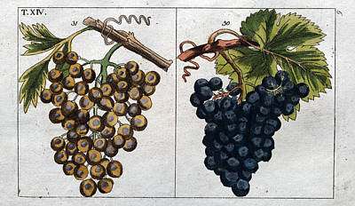 Blue Grapes Drawing - Wine Grapes, Vine, Agriculture, Fruit, Food And Drink by English School