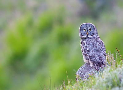 Great Grey Owl Photograph - Wyoming, Yellowstone National Park by Elizabeth Boehm