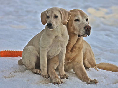 Photograph - Yellow Labradors by Steven Lapkin