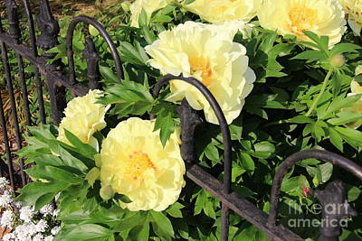 Photograph - Yellow Peony Bush by Rod Ismay