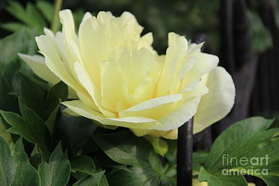 Photograph - Yellow Peony by Rod Ismay