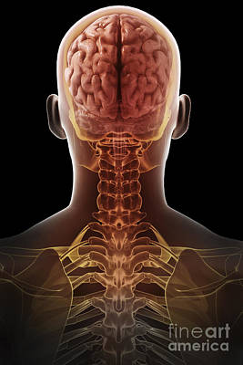 Photograph - Human Brain by Science Picture Co