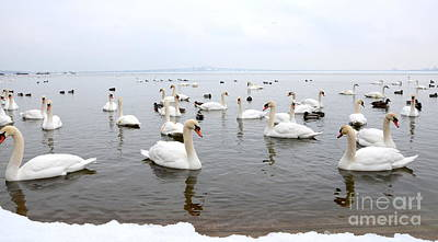 - 60 Swans A Swimming by Laurel Best
