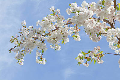 Cherry Blossoms Photograph - Usa, Washington, Seabeck by Jaynes Gallery
