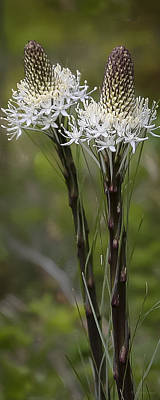 Photograph - Beargrass  -  60603-32 by Albert Seger