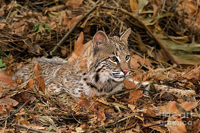 Photograph - 611000006 Bobcat Felis Rufus Wildlife Rescue by Dave Welling