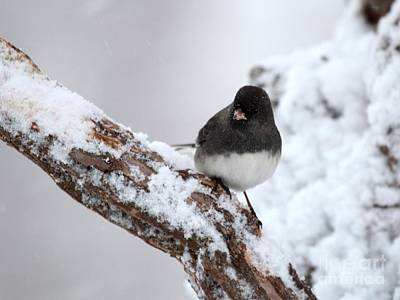 Photograph - Dark-eyed Junco by Jack R Brock