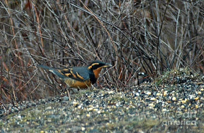 Photograph - 621a Varied Thrush by NightVisions