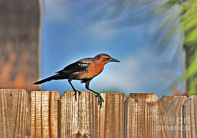 Photograph - 63- Grackle by Joseph Keane