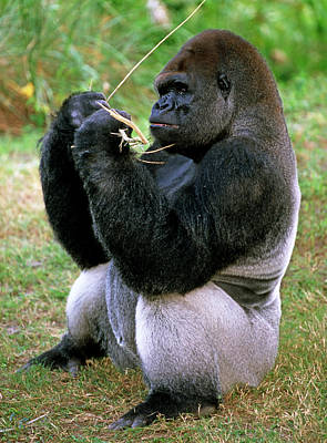 Photograph - Western Lowland Gorilla by Millard H. Sharp