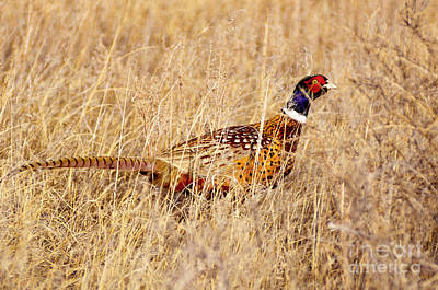 Photograph - 652p Ring-necked Pheasant by NightVisions