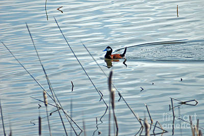 Photograph - 653p Ruddy Duck   by NightVisions