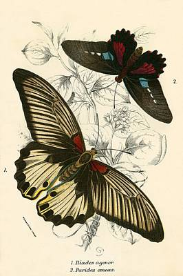 Natural History Painting - Butterflies by English School