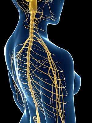 Female Nervous System Art Print by Sciepro/science Photo Library