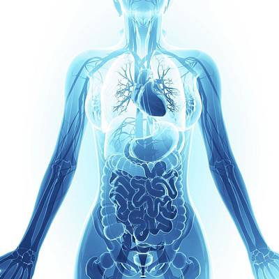 Human Representation Photograph - Human Respiratory System by Pixologicstudio