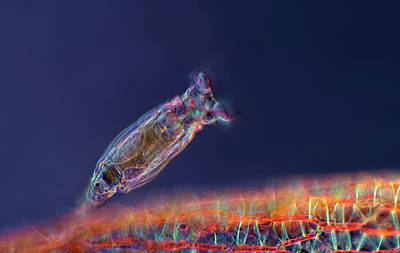 Photograph - Philodina Rotifer, Lm by Marek Mis Science Source